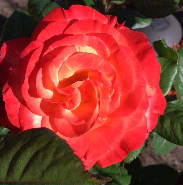 Love & Peace Roses